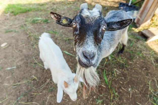 Niedliche ziege, die im sommertag in ranchfarm entspannt. hausziegen, die auf der weide weiden und kauen, landmauer. ziege in natürlichen öko-farm wächst, um milch und käse zu geben.