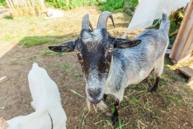 Niedliche ziege, die im sommertag in ranchfarm entspannt. hausziegen, die auf der weide weiden und kauen