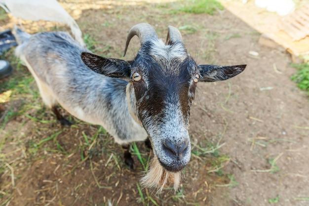 Niedliche ziege, die im sommertag in ranchfarm entspannt