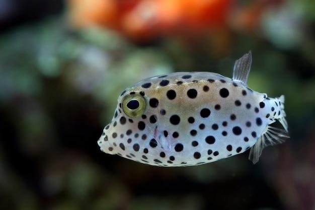 Niedlicher kugelfisch seitenansicht, schöne farbe kugelfisch