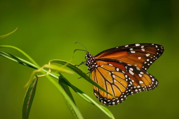 Niedlicher monarchfalter, der auf einem zweig aufwirft