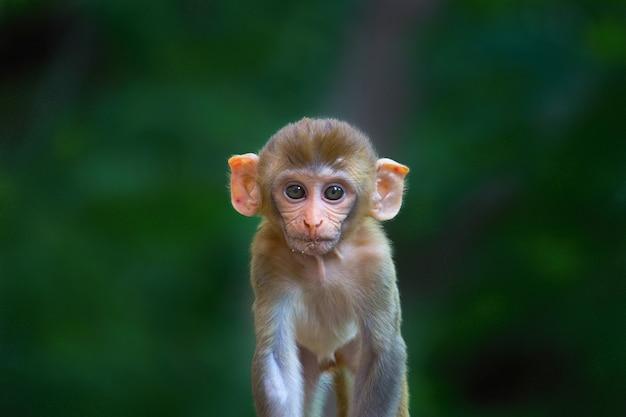 Niedlicher rhesus-makakenaffe in verspielter stimmung, der in die kamera schaut, um mehr spaß zu haben