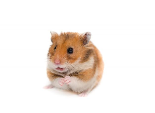 Niedlicher syrischer hamster, der auf seinen hinterbeinen mit einem lustigen ausdruck sitzt