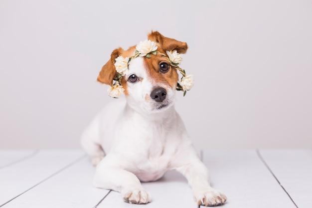 Niedlicher weißer und brauner kleiner hund, der eine krone der weißen blumen trägt