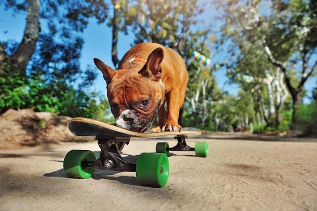 Niedrige ansicht einer französischen bulldogge des skateboardfahrers