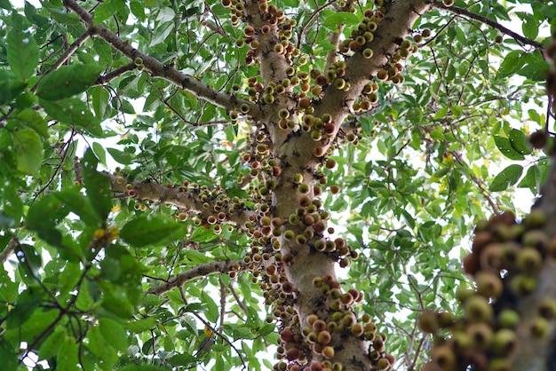 Niedrige winkelansicht der nahaufnahme von zweigen eines clusterbaums, der von dicken blättern umgeben ist