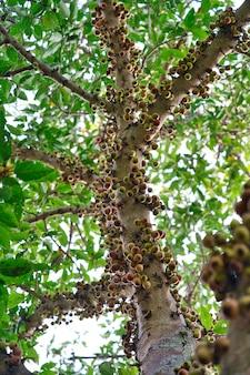 Niedrige winkelansicht der nahaufnahme von zweigen eines clusterbaums, umgeben von dicken blättern