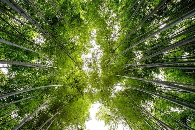 Niedrige winkelansicht des bambuswaldes in arashiyama, japan