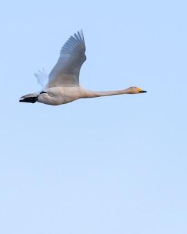 Niedrige winkelansicht eines fliegenden singschwans unter dem sonnenlicht und einem blauen himmel
