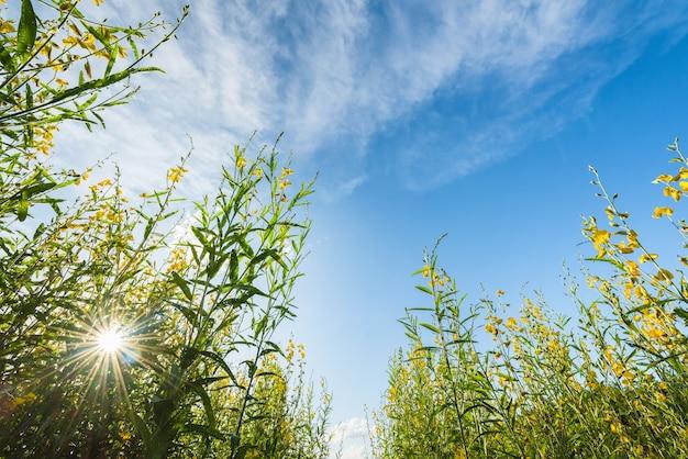Niedrige winkelsicht der sunnhanf-blume mit dem sonnigen und blauen himmel