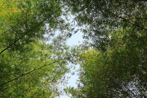 Niedrige winkelsicht von bambusbäumen wölben sich gegen sonnigen himmel in thailand