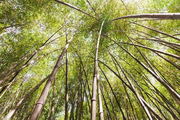 Niedrige winkelsicht von hohen bambusbäumen