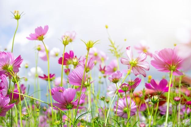 Niedriger winkel der kosmosblume und kleiner bienenfallblütenstaub
