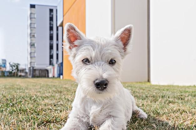 Niedriges winkelsichtporträt des weißen terrierwelpen des welpenwesthochlands