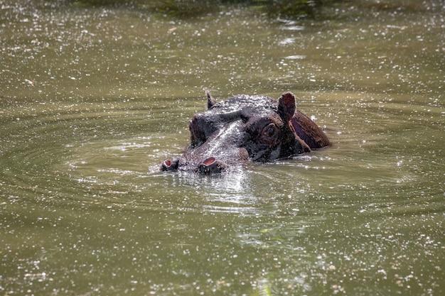 Nilpferd der art hippopotamus amphibius im wasser