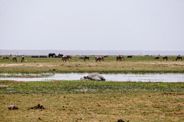 Nilpferd im amboseli nationalpark kenia