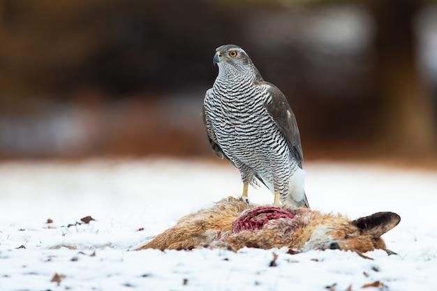 Nördlicher habicht, der neben dem toten fuchs auf schnee steht