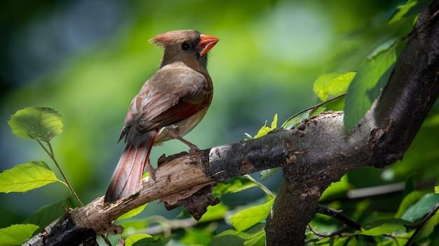 Nördlicher kardinal auf einem ast