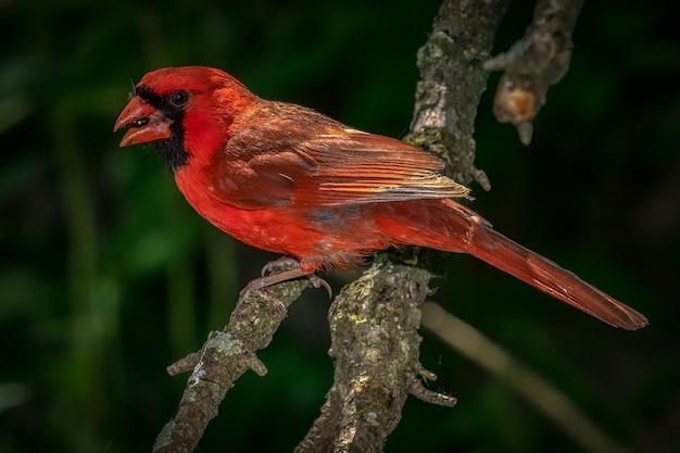 Nördlicher kardinal (cardinalis cardinalis)