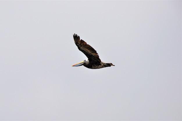 Nördlicher tölpel-seevogel fliegt unter dem klaren himmel