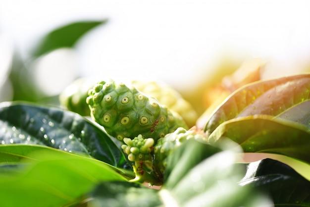 Noni-frucht-kräutermedizin frisches noni auf baum. andere namen große morinda beach maulbeere oder morinda citrifolia