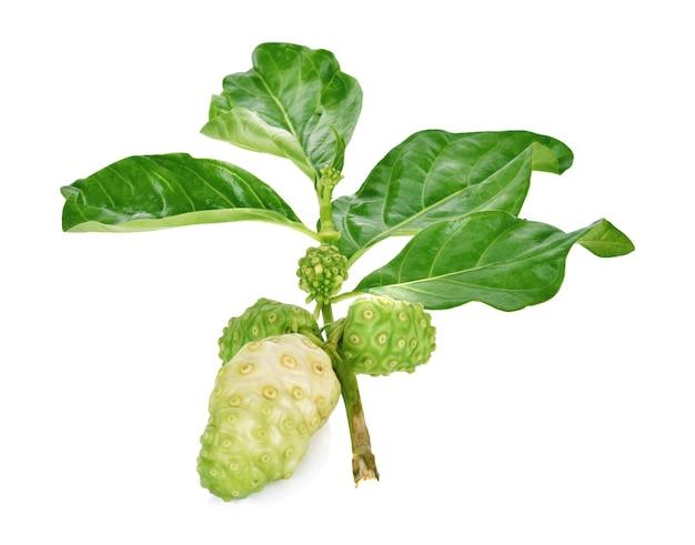 Noni oder morinda citrifolia, große morinda, indische maulbeere, strandmaulbeere, kraut.