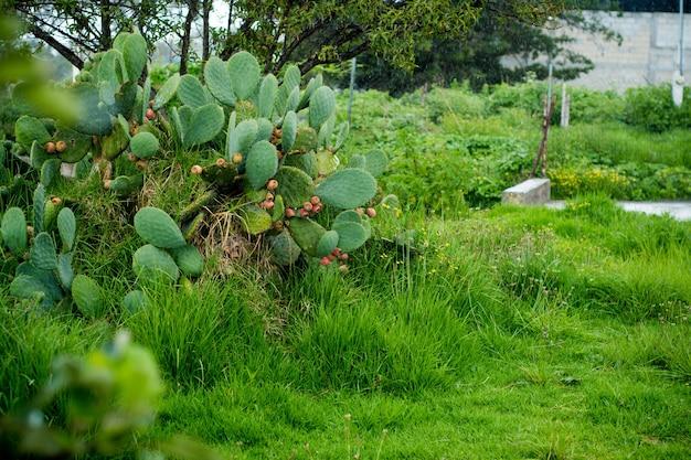 Nopal-pflanze mit kaktusfeigenfrüchten.
