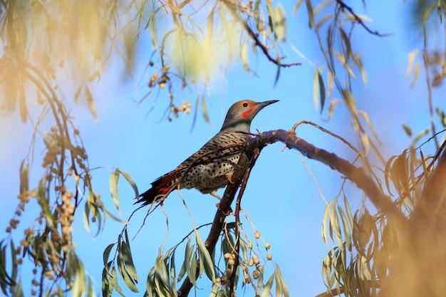 Nordaufflackern-vogel im russischen olivenbaum