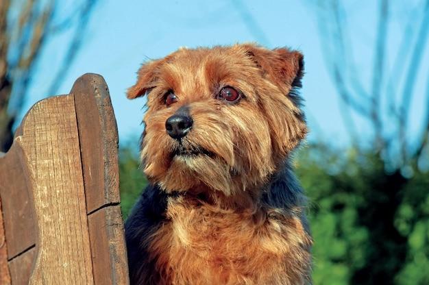Norfolk terrier hund