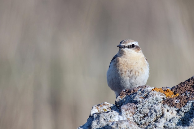 Northern wheatear, oenanthe oenanthe ein vogel sitzt auf einem felsen.