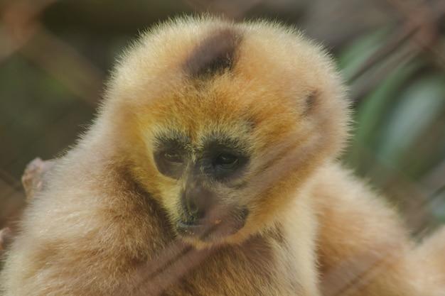 Northern white-cheeked gibbon in einem käfig.