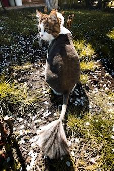 Norwegische waldkatze geht durch den hof des hauses im garten, der mit blütenblättern einer blühenden aprikose bedeckt ist.