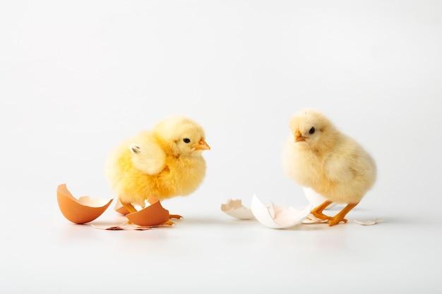Nur die geborenen hühner auf einem weiß.