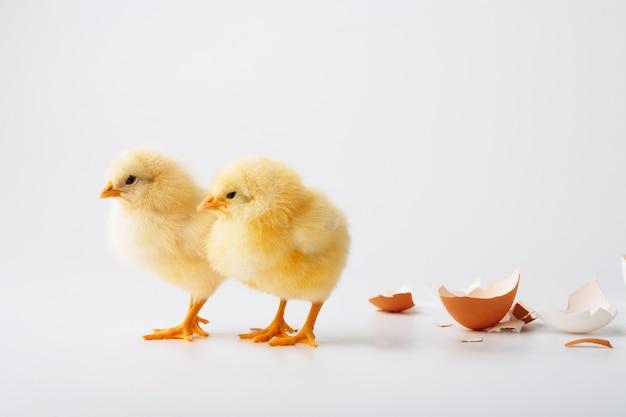 Nur die geborenen hühner auf einem weißen hintergrund.