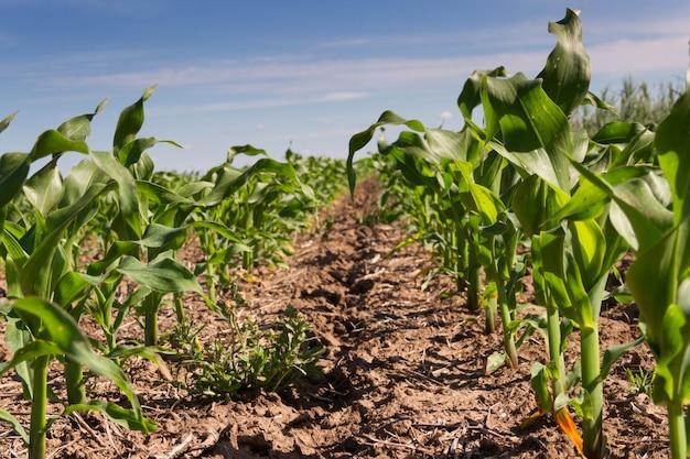 Nut des gepflügten landes mit gepflanztem mais