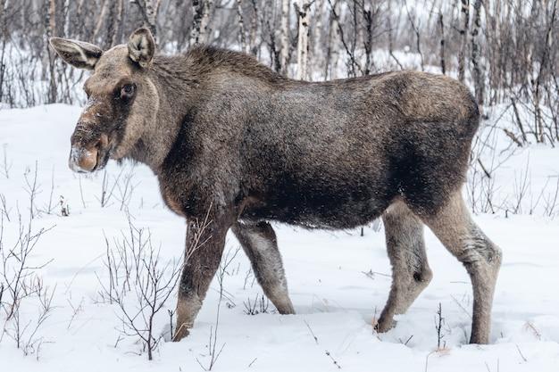Nutztier, das einen spaziergang auf der verschneiten landschaft in nordschweden macht