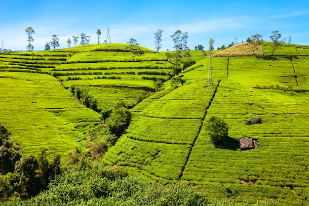 Nuwara eliya teeplantage