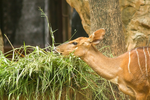 Nyala im zoo, die das gras fangen
