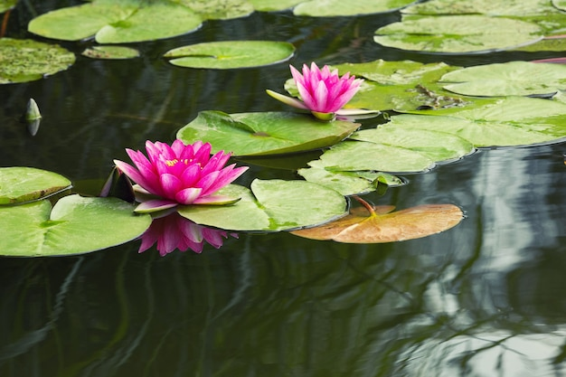 Nymphaea der blühenden rosa seerosen im see bokod, ungarn