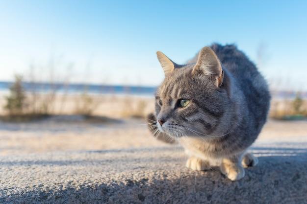 Obdachlose schöne katze auf der straße, am strand. schließen sie herauf porträt des netten kleinen grauen streukätzchens am sonnigen tag.