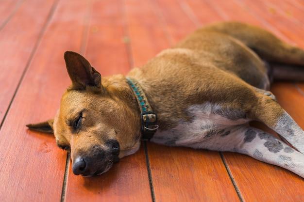 Obdachloser thailändischer hundeschlaf browns auf dem boden