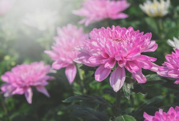 Oben geschlossen von der rosa chrysanthemenblume