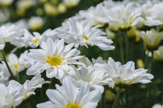 Oben geschlossen von der weißen chrysanthemenblume