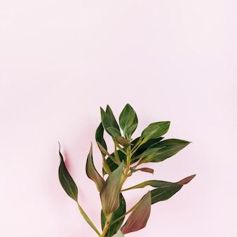 Obenliegende ansicht der blühenden tulpe verlässt auf rosa hintergrund