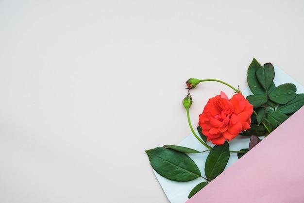 Obenliegende ansicht von rosafarbenen knospen und von blumen in einem offenen umschlag über weißem hintergrund