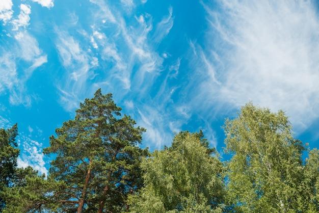 Oberteile der birken und der kiefern gegen einen blauen himmel mit wolken. tageslicht.