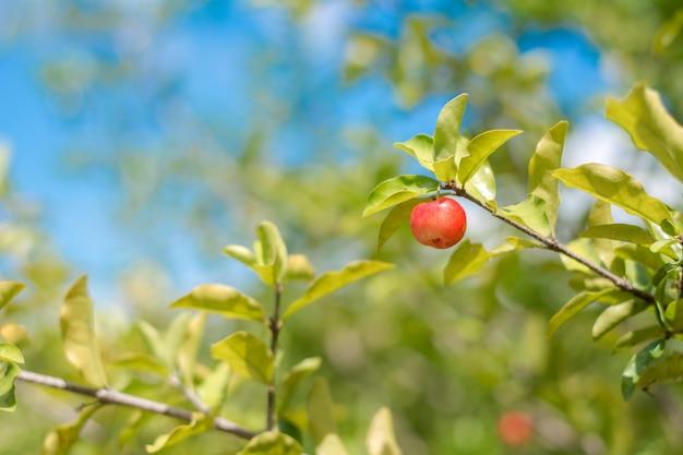 Obstbaum mit reifen kirschen.