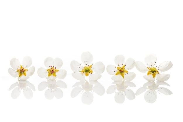 Obstbaumblumen lokalisiert auf weißem hintergrund. birnenblüten in folge auf weißem hintergrund mit reflektion.