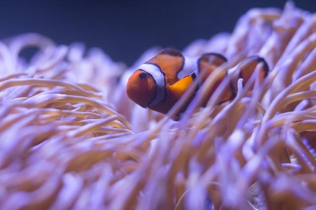 Ocellaris-anemonenfisch, anemonenfisch, clownfisch, falscher percula-anemonenfisch