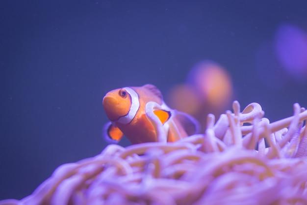Ocellaris-anemonenfisch, clownanemonenfisch, clownfisch, falscher percula-anemonenfisch